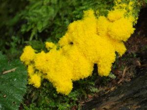 желтый плесневый гриб