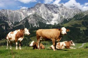 коровы в альпах